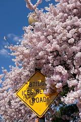 DSCF0679 (hjaruszewski) Tags: washington dc travel usa cherry blossoms flowers pink sign ice february