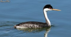 Go west! (Shannon Rose O'Shea) Tags: shannonroseoshea shannonosheawildlifephotography shannonoshea shannon westerngrebe grebe bird beak feathers wings redeyes water bluewater nature wildlife waterfowl hendersonbirdviewingpreserve henderson nevada outdoors outdoor outside colorful colourful ripples art photo photography photograph flickr wwwflickrcomphotosshannonroseoshea smugmug wild wildlifephotography wildlifephotographer wildlifephotograph femalephotographer girlphotographer womanphotographer shootlikeagirl shootwithacamera throughherlens camera canon canoneos80d canon80d canon100400mm14556lisiiusm eos80d eos 80d canon80d100400mmusmii closeup close aechmophorusoccidentalis