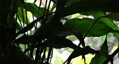 Leaves on backlight (Valdegris) Tags: leaves leaf stalk backlight transparency feuilles contrejour tiges transparence darkgreen vertsombre