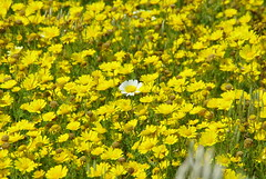 The white flower (nothinginside) Tags: flower flowers yellow white field spring primavera lost malta mistra xemxija nature art floreal 2019 walk trakking day march daisy