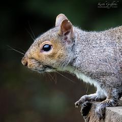 Squirrel (Photography - KG's) Tags: bird birds nature animals wildlife summerleys squirrel reserve