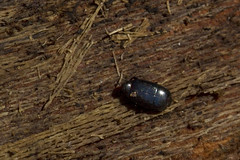 Tiny Wood Beetle (brucetopher) Tags: bug bugs wood stump insect 6 six legs sixlegs critter creature tiny beetle animal borer