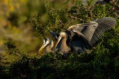 Two Great Blues (Beve Brown-Clark) Tags: greatblueheron herons gbh wader waterfowl wildlife shorebird nature bevebrownclark bird florida usa