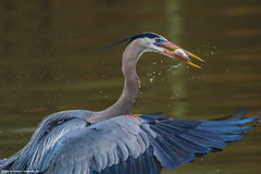 2019.04.06.7467 GBH with Catch (Brunswick Forge) Tags: 2019 virginia jamesriver richmond water woods trees forest animal animals animalportraits outdoor outdoors bird birds wildlife nature cloudy heron greatblueheron rain spring nikkor200500mm nikond500 favorited commented