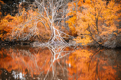 Deeply Dreaming. (Robert's__Photography.) Tags: red natural tree branch branches highpark toronto ontario canada sonya7r3 sony sonyalpha water reflections autumn white park fineart fine