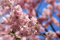 Blushing all over (Jen_Vee) Tags: trees flowers blooming pink blue sky blush petals pollen branches spring