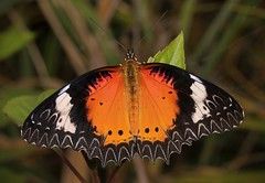 Leopard Lacewing (Cethosia cyane, Nymphalidae), male (John Horstman (itchydogimages, SINOBUG)) Tags: insect macro china yunnan itchydogimages sinobug entomology canon lepidoptera butterfly nymphalidae lacewing orange topf25 fb top
