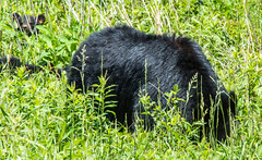 DSC_5033 (TDog54Photography / TCS Photography) Tags: black bear bears smoky mountains tennessee cades cove wildlife wild life animal american north america ursus americanus animals forest national park great cubs cub