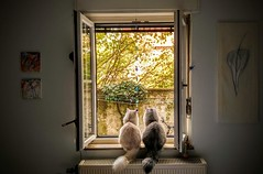 Levi & Milo, looking out the window... (Benny aka WortLichtMaler) Tags: cat katze katzen cats siberian sibirer waldkatze forest brothers furr fluff fluffy flauschig viel fell