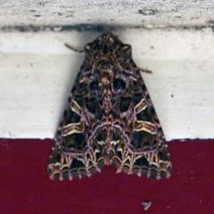 The Campion ... Sideridis rivularis (AndyorDij) Tags: moth lepidoptera insect andrewdejardin england empinghammoths empingham rutland uk unitedkingdom thecampion sideridisrivularis