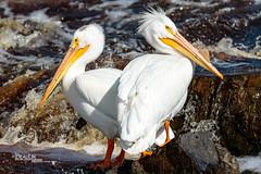 Hard Rock Pelicans (Images by Beaulin) Tags: lakeofthewoodscounty wildlife birds pelecanuserythrorhynchos waterbirds clementson americanwhitepelican rapidriver minnesota