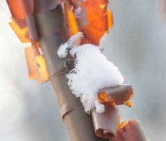 Berch Red. (Omygodtom) Tags: macro snow winter red dof d7000 usgs art abstract
