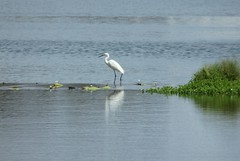 Egret going fishing, it is standing on a weir between two ponds. (ronniemillpool43) Tags: luck its endevours