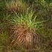 2012-10-24 TEC-2362 Schizachyrium sanguineum  - E.P. Mallory