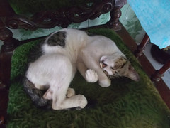 Cat - kitty cat sleep on the chair (herue017) Tags: cat kitty cats sleep chair animal pets life mamalia fauna indoor funnycat cute funny cutecat lovely mammal kitten claw whisker poes kat animale kucing domestic tidur meow pet toy