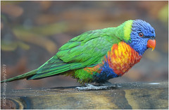 Rainbow Lorikeet (kerbside) Tags: lorikeet rainbow bird australianbird