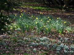 Winkworth Arboretum (Tony's Trains and Buses) Tags: winkworth arboretum spring nationaltrust daffodils snowdrops