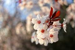 Sakura (planosdeluz) Tags: sakura blossoms cerezo flor sunset lig atardecer bokeh cano 80d 24mm