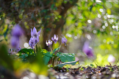 20190321-DS7_1269.jpg (d3_plus) Tags: bokeh aiafzoomnikkor80200mmf28sed d700 thesedays wildflower 日常 walking 城山 ボケ 相模原 望遠 カタクリ 自然 景色 dogtoothviolet sagamihara trekking 神奈川県 sky telephoto 山野草 風景 japan erythroniumjaponicum ニコン トレッキング nature dailyphoto ハイキング nikon nikond700 kanagawa flower nikkor shiroyama 8020028 dogtoothvioletvillage bloom 植物 80200mmf28d 散歩 80200mmf28af plant 花 scenery 80200mmf28 daily 城山かたくりの里 hiking 80200 日本 tele 80200mm かたくりの里 空