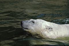 1991  Zoo Berlin Eisbär (rieblinga) Tags: berlin west 1991 zoo eisbär schwimmend wasser gehege analog canon eos 100 agfa ct100i diafilm e6