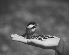 Perfect Day ♥ (HW111) Tags: bw birds hope blackandwhite spring hands seeds chickadee feed wild nature bird hand sweet cute naturereserve monochrome