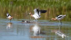 American Avocets (P3182922-20190318) (bechtelsf) Tags: birds american avocet riparian preserve water ranch gilbert az