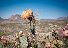 Hwy 170 Cactus, West Texas (sbmeaper1) Tags: sony a7r2 west tx texas highway 170 hwy big bend state park cactus desert mexico border rose