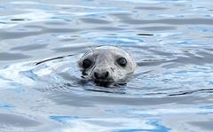 Watching me watching him. (Steve (Hooky) Waddingham) Tags: animal countryside coast nature northumberland feeding wild wildlife sea planet river