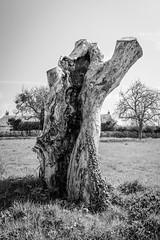 Old tree stump (Thierry GASSELIN) Tags: d7100 monochrome nb bw arbre tree souche stump