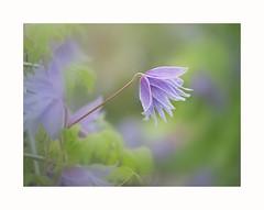 _DSC0533a (Chris Tidman Photography) Tags: smile saturday blue clematis soft smileonsaturday blueforyoume2019