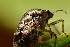 Shield Bug Back Detail (Craig Tuggy) Tags: bangkok thailand insect macro nature reverse lens