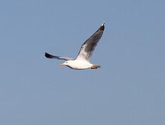 Yellow-legged Gull (Wild Chroma) Tags: larus michahellis larusmichahellis gull birds nonpasserines portugal faro ludo riaformosa inflight
