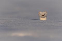 Im besten Licht (bertheeb) Tags: hermelin wildtiere nikon d750 500mmvr
