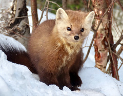 Wild Thing (Meryl Raddatz) Tags: pinemarten nature naturephotgraphy wildlife canada winter mammal