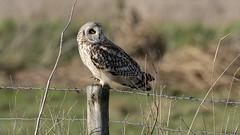 Short-eared Owl (image 1 of 2) (Full Moon Images) Tags: wicken fen burwell nt national trust wildlife nature reserve cambridgeshire bird birdofprey shorteared owl