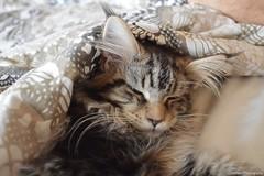 Nolan the Coon Kitten... (Mona Zimba) Tags: tangledfx kitten mainecoon cat sleeping