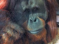 IMG_5056 (kennethkonica) Tags: indianapoliszoo zoo animalplanet animal flamingo indianapolis indiana indy canonpowershot canon hoosier random midwest usa america color animaleyes zoos mood rockytheorangutan macro ape orangutan
