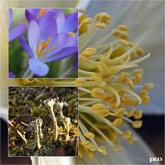vorfrühlingsgartenmakros (peterphot) Tags: sony tamronmakro blumen blüten garten