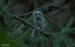Eastern Screech Owlet (salmoteb@rogers.com) Tags: bird wild outdoor nature ontario canada eastern screech owlet nikon d850 500mm animal perch