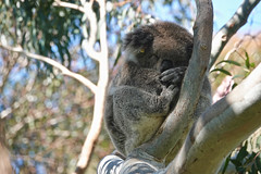 Sleeping Beauty (setoboonhong) Tags: nature outdoor wildlife koalabear gumtree sleeping curledup ball towerhillwildlifereserve victoria greatoceanroad