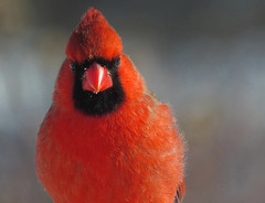 Northern Cardinal. (jlp771) Tags: red rouge canon