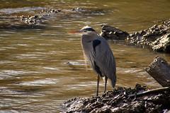 Great Blue Heron (Explored) (Katrina Wright) Tags: dsc3300 heron crane bird fowl water tide steveston beach