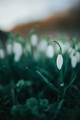 spring droplets (Galanthus nivalis) (robert.lindholm87) Tags: sweden canon zeiss mirrorless canoneosr eos canoneos milvus 35mm macro closeup white green flowers flower bokeh dof blurry atmosphere nature galanthus nivalis spring wallpaper
