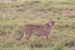 Cheetah in the Grass, Maasai Mara National Reserve (Jill Clardy) Tags: africa vantagetravel safari cheetah cat maasai mara 201902239l8a0004 felinae feline national reserve kenya