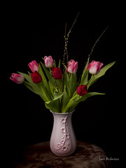 _61A0283 (fotolasse) Tags: blommorstudiontulpaner blommor flowers blad tulpaner sweden sigma 50mm canon studio light visico ttl5