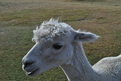 ALPACAS - Alpaga Nouvelle Zelande 2019 (11) (hube.marc) Tags: alpacas alpaga nouvelle zelande 2019 vicugna pacos