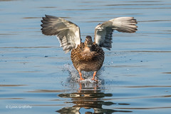 Mallard - Touchdown 501_7515.jpg (Mobile Lynn) Tags: wildfowl mallard birds ducks nature anasplatyrhynchos anseriformes bird duck fauna wildlife estuaries freshwater lagoons lakes marshes ponds waterfowl webbedfeet hurst england unitedkingdom gb
