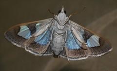 Window wing moth Glyphodes sp aff bivitralis Pyraustinae Crambidae Airlie Beach rainforest P1010866 (Steve & Alison1) Tags: window wing moth glyphodes sp aff bivitralis pyraustinae crambidae airlie beach rainforest