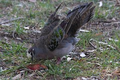 Flirting Brush Bronzewing male (Uhlenhorst) Tags: 2011 australia australien animals tiere birds vögel travel reisen ngc