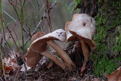 Mushrooms (Obas123) Tags: mushroom mushrooms fungus fungi